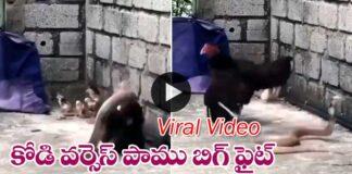 Viral Video hen VS snake