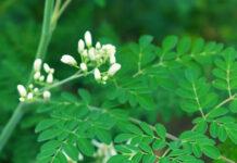 moringa leaves health benefits telugu
