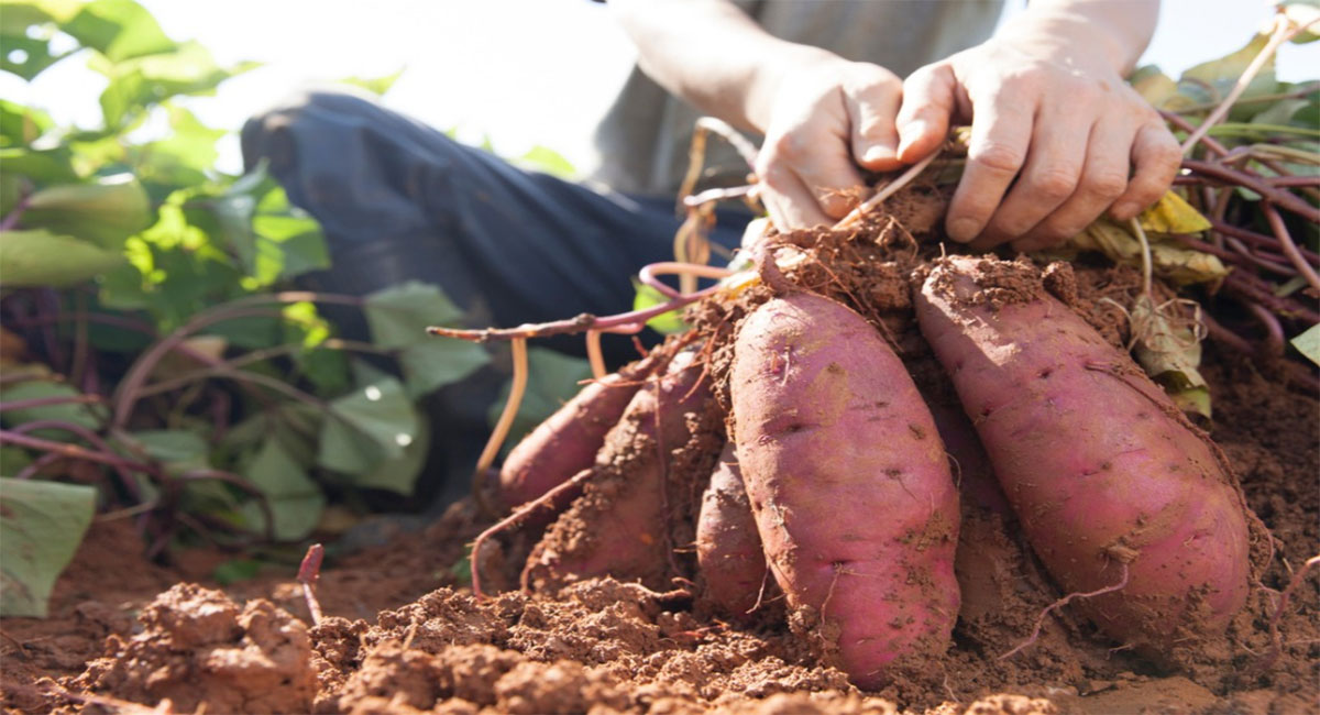 sweet-potato-sweet-potato-is-all-in-one-for-health