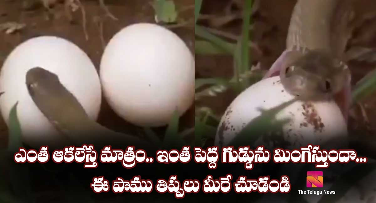 snake swollowing egg video goes viral news