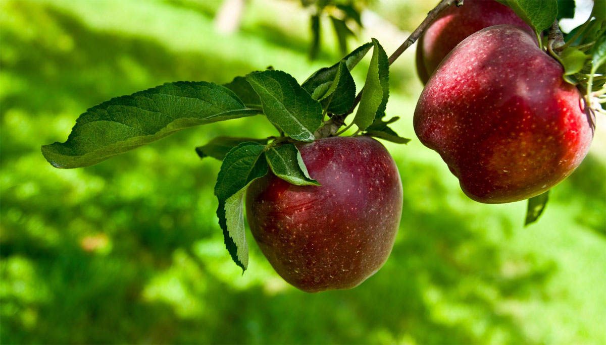 how to grow apple tree at home with seeds
