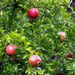 pomegranate-plants-500×500
